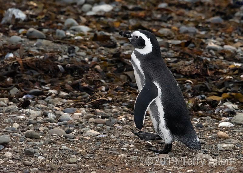 Adult magellanic penguin (Spheniscus magellnicus) just out of the water, Isla Magdelana, Chile.jpg