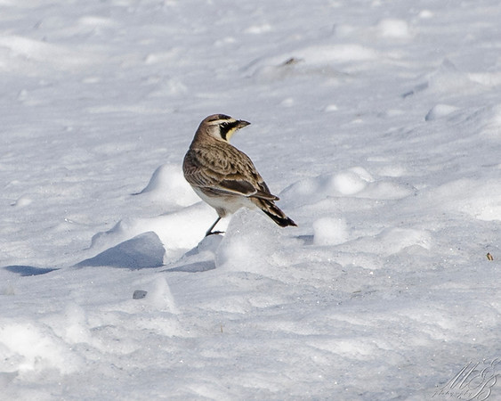 Pipits, Wagtails and Larks