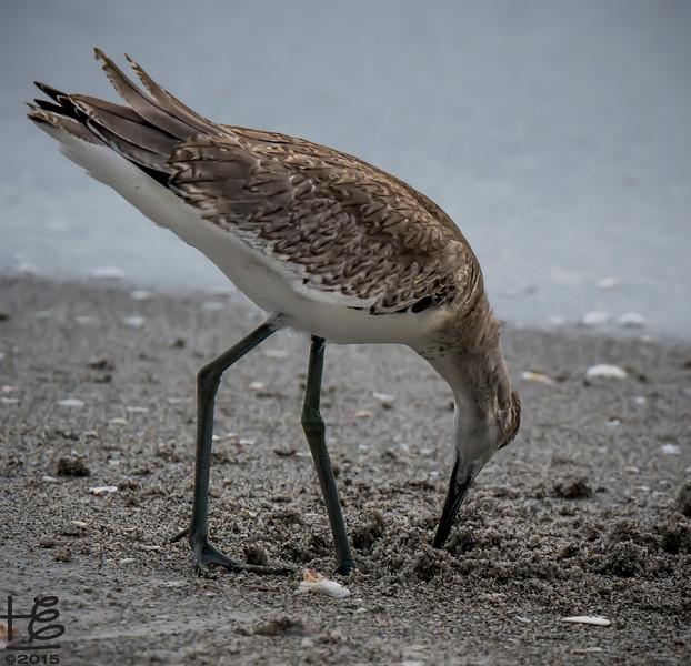 Willet feeding in sand
