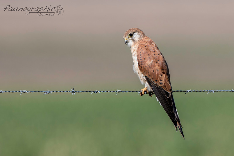 Nankeen Kestrel (Female)
