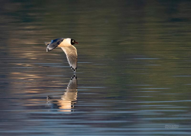 Franklin's Gull, Standing Bear Lake, NE, USA, May 2018-4.jpg