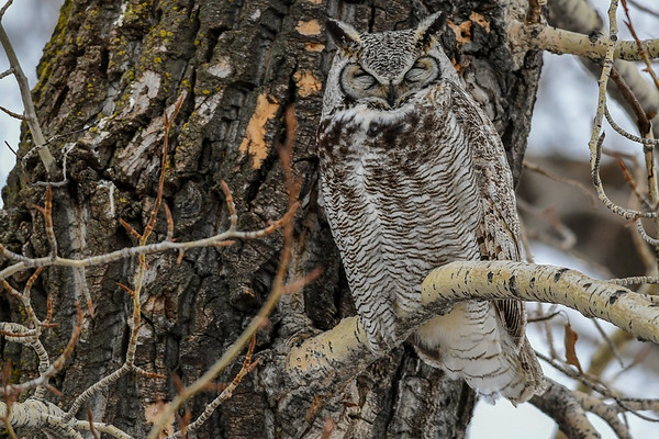 2-22-17 **Great Horned Owl - Sleeping With One Eye Open