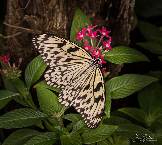 TBG Butterflie 3-11-2018c-4211.jpg