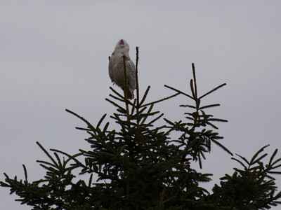 Snowy Owls -  Grays Harbor, WA
