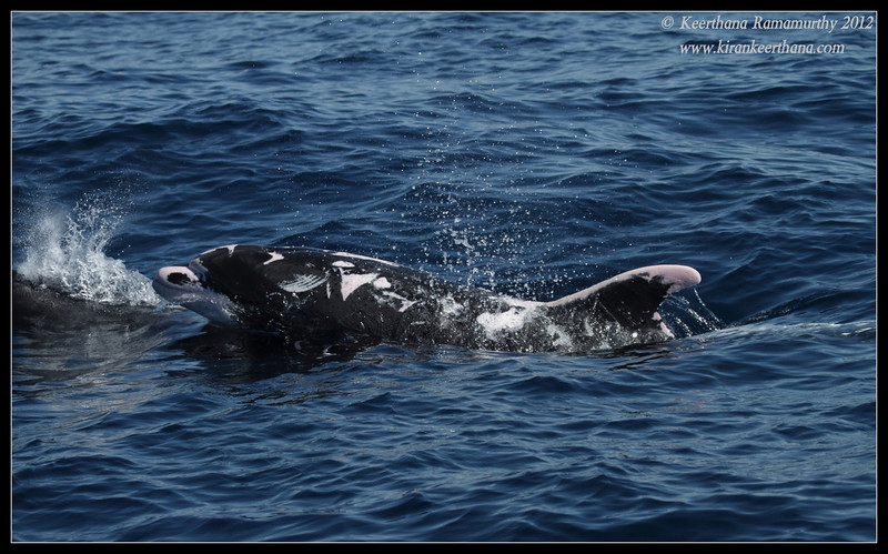 """Half-albino dolphin """"Patches"""" surfacing, Whale Watching trip, San Diego County, California, November 2012"""