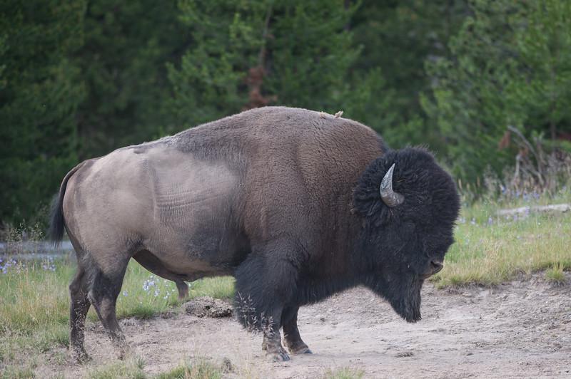 Buffalo-19.jpg