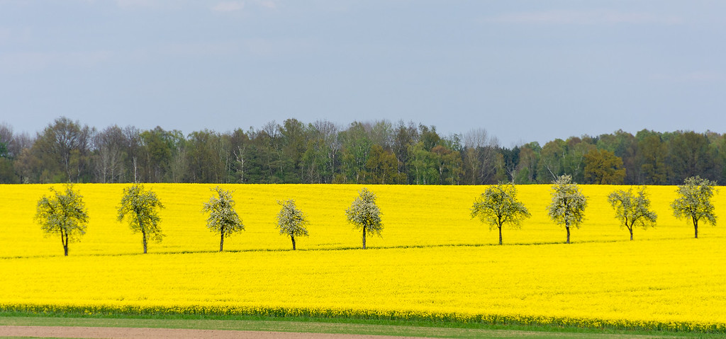 Flowering Rapeseed near Leipzig, Germany