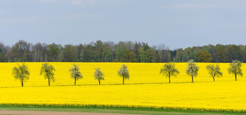 Flowering Rapeseed near Leipzig, Germany