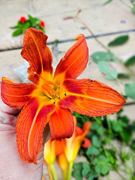 Burntcoat Head day lilies-2.jpg