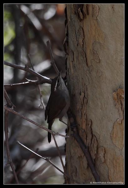 Bewick's wren, El Camino Memorial Park, San Diego County, California, February 2009