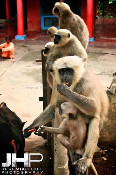 """""""Rishikesh Langur Monkeys #1"""", Rishikesh, Uttuaranchal, India, 2007 Print IND373-427"""