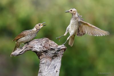Bowerbirds, Catbirds,Ravens, Crows, Spangled Drongo
