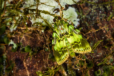 INSECT - moth lichen moss-2589