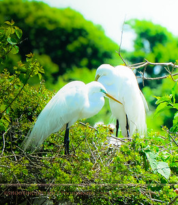 Great Egrets at the Nest, Smith Oaks Rookery
