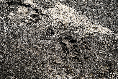 Grizzly Sand Prints