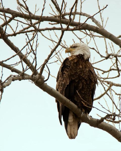 Matuer Bald Eagle