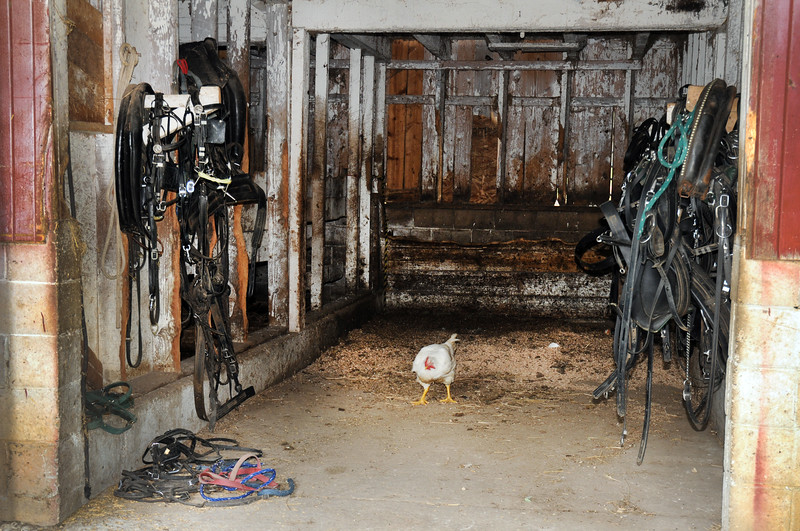 011 Chicken in a shed-Amish-Roper _9432.jpg