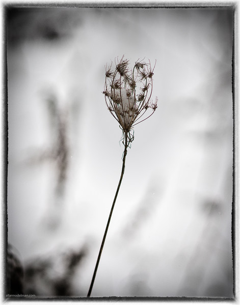 Queen Anne's Lace in the Freezing Cold