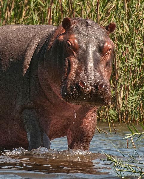 Hippos-11.jpg