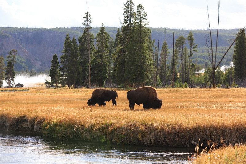 Buffalo along the Firehole River 005