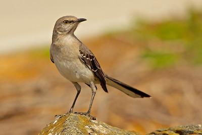 Mimids (Mockingbird)