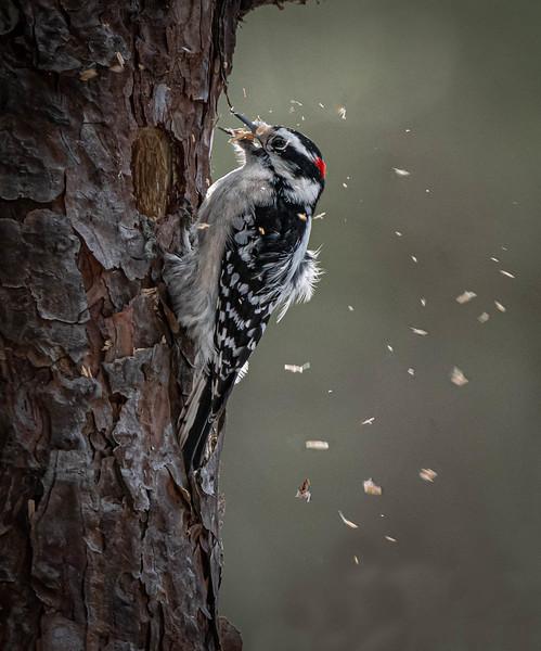 _5008329-Edit Downy Woodpecker out.jpg