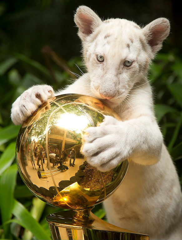 . A white tiger cub plays with the 2012 Miami Heat NBA basketball Larry O\'Brien national championship trophy at Jungle Island in Miami, Thursday, June 6, 2013 during a video shoot for Heat TV.  The video was set to be shown during the first game of the NBA Finals between the San Antonio Spurs and the Heat. (AP Photo/J Pat Carter)