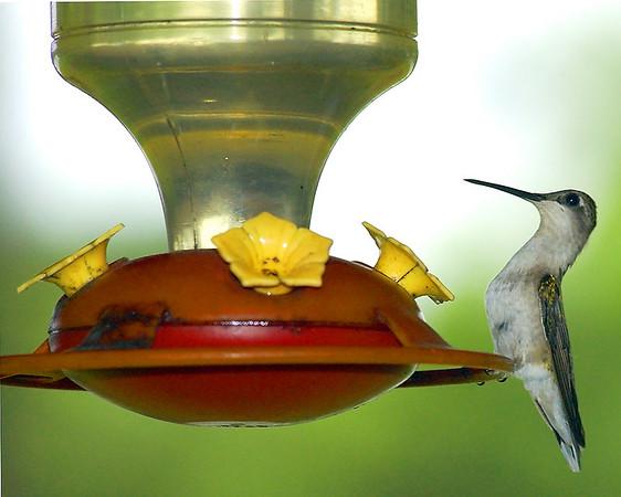 Hummingbird, Butterfly, Spider