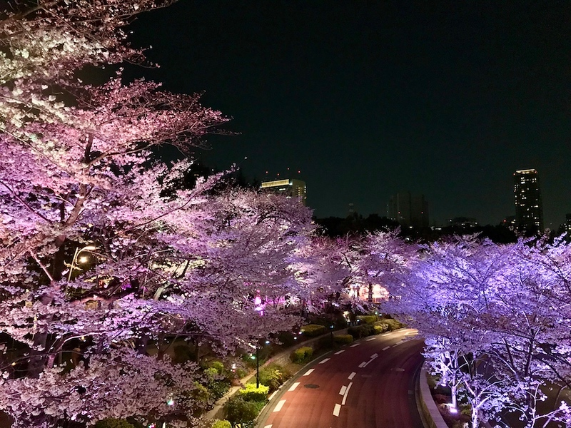 Cherry trees near Roppongi Midtown.