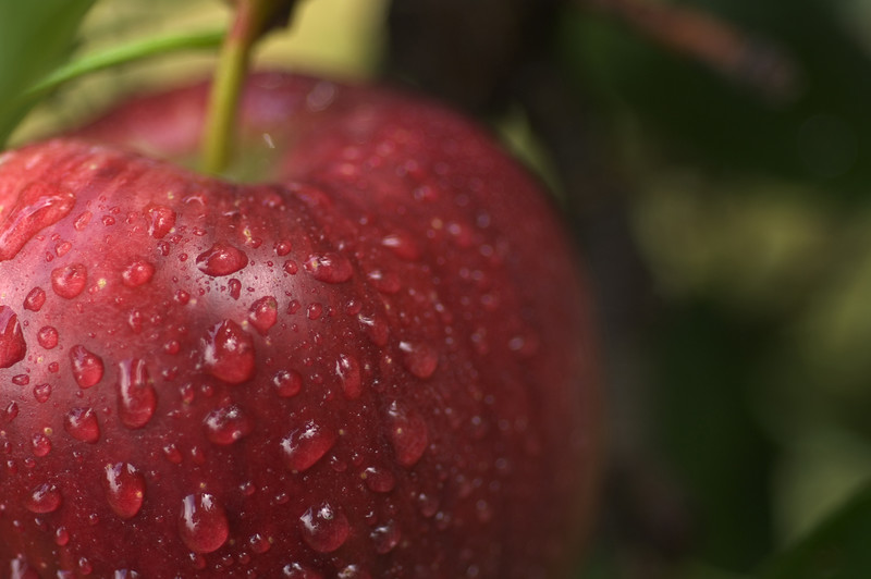 Red Delicious Apples in Tree