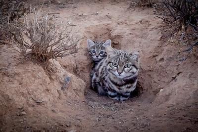 black-footed cat (Felis nigripes)