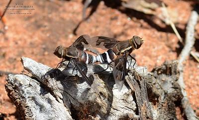 Bee Flies  (Bombyliidae)
