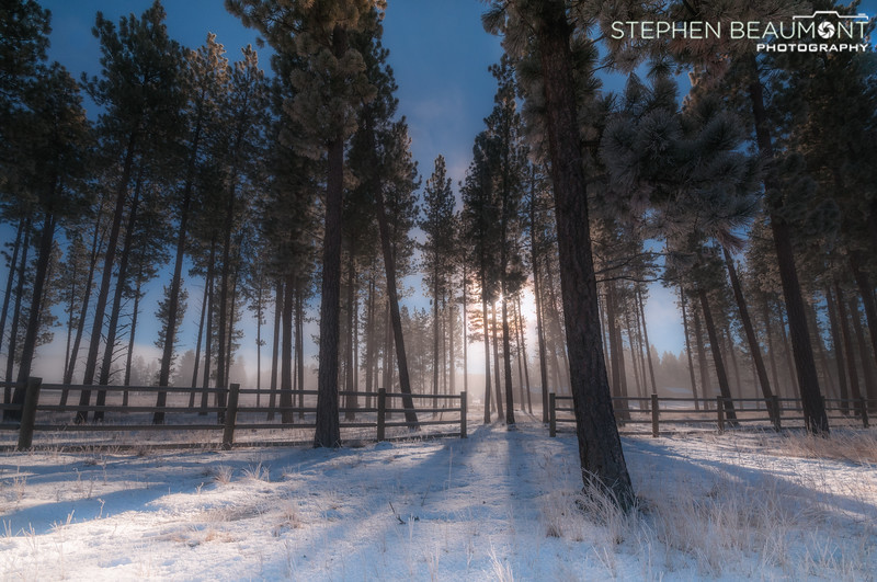 Soft Light Pines