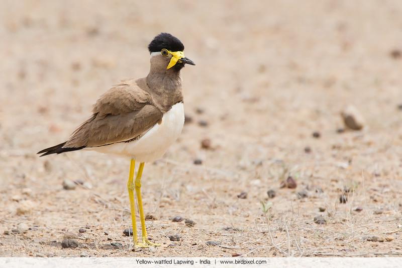 Yellow-wattled Lapwing - India