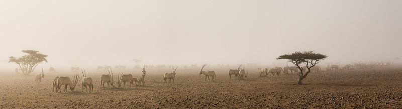 Arabian Oryx (44).jpg