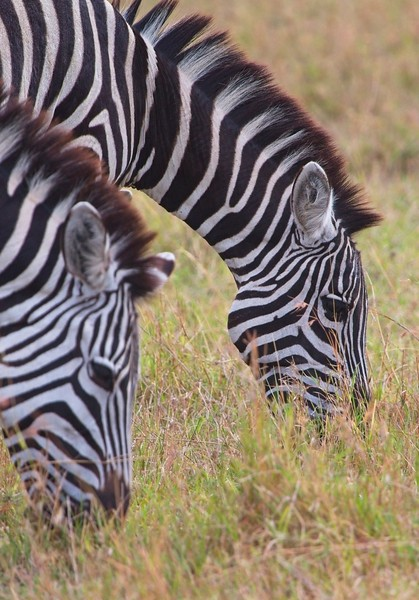 Common Zebra, Naboisho Conservancy