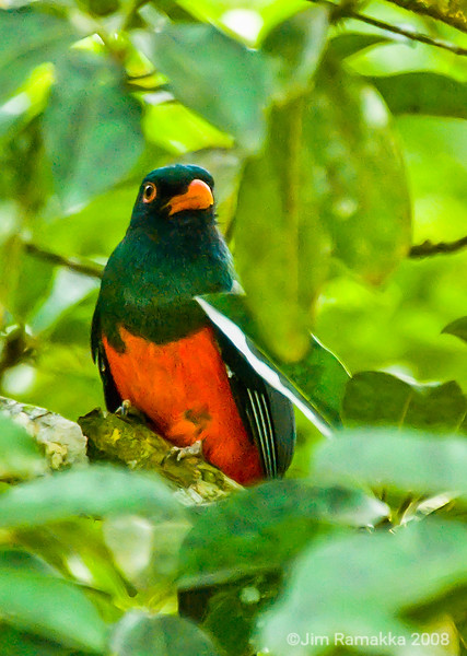 Orange-bellied Trogon
