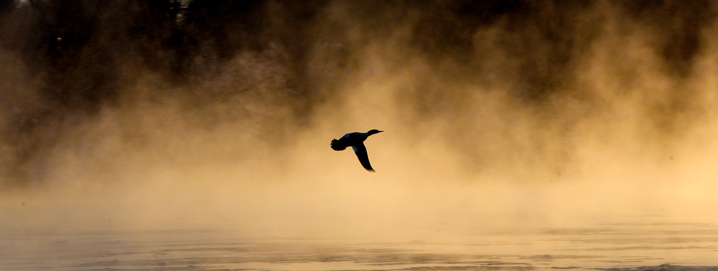 . A duck flies over small patches of ice and rising steam from the Mississippi River, Tuesday, Dec. 26, 2017, near Heim\'s Mill in St. Cloud, Minn. Minnesota experienced its most frigid Christmas Day since 1996, with wind chills as cold as 35 degrees below zero, KSTP-TV reported. The National Weather Service warned that those whose skin was exposed in such conditions could get frostbite in as little as 15 minutes. (Dave Schwarz/St. Cloud Times via AP)