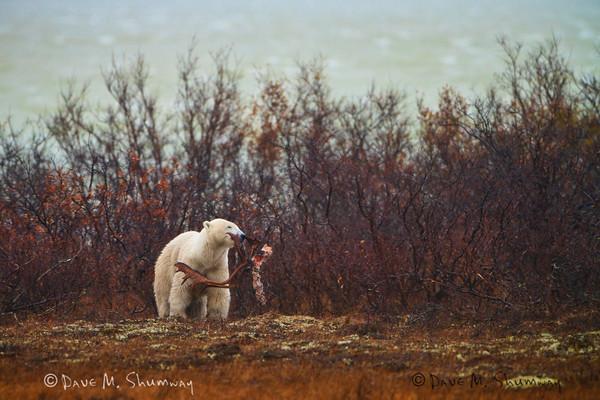Canadian Low Arctic, (10.12-19.11)