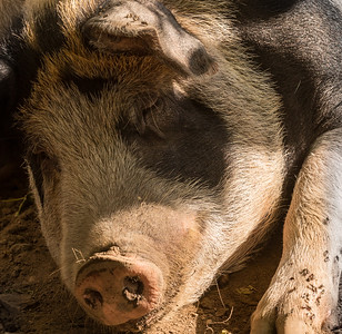 """""""In a pig's eye"""" so to speak - note flies as well.  Poor guy.  This is Wallace."""