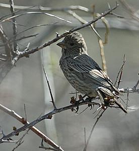 Rakkapunavarpunen (Carpodacus rubicilla)