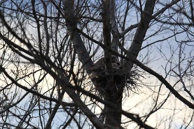 Kotsen - Backyard Owl April 2016