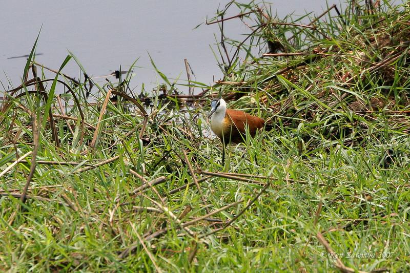 African Jacana, Chobe National Park, Botswana