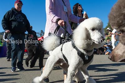 Parade-standard poodles # 407-699