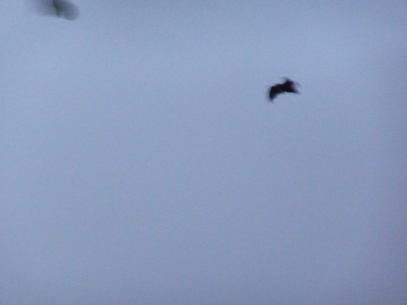 A very VERY large bat out a dusk.  Probably 18 to 24 inch wingspan.