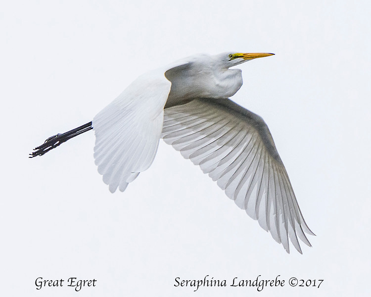 _DSC1618Great Egret.jpg