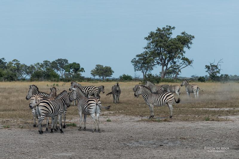 Burchell's Zebra, Savuti, Chobe NP, Botswana, May 2017-2.jpg