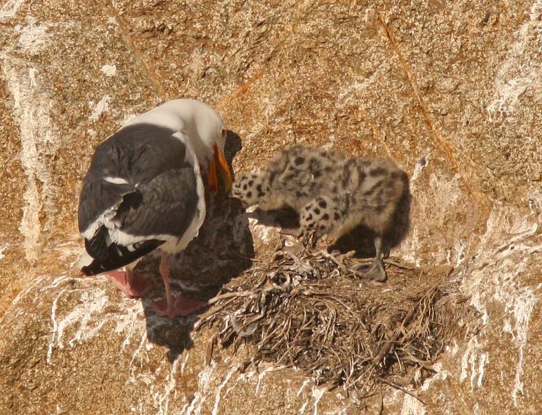 WB~Western Gull with nestlings in nest bodega bay1202.jpg