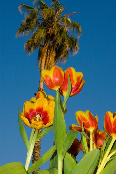 Tulips outdoor_04.jpg