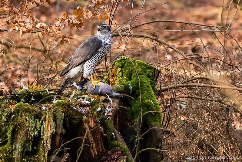 Duehøg (Accipiter gentilis - Northern Goshawk)